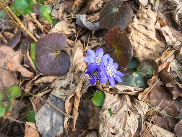 Hepatica florescendo na madeira