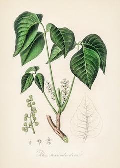 Hera de veneno (rhus toxicodendron) ilustração de medical botany (1836)