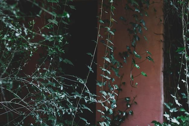 Hera e arbustos perto da casa