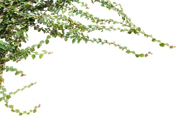 Hera verde com folha em isolar o fundo branco