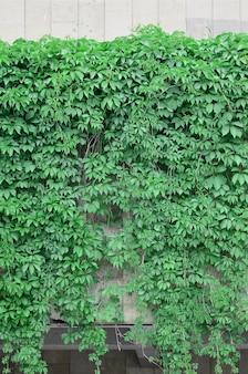Hera verde cresce ao longo da parede bege de azulejos pintados