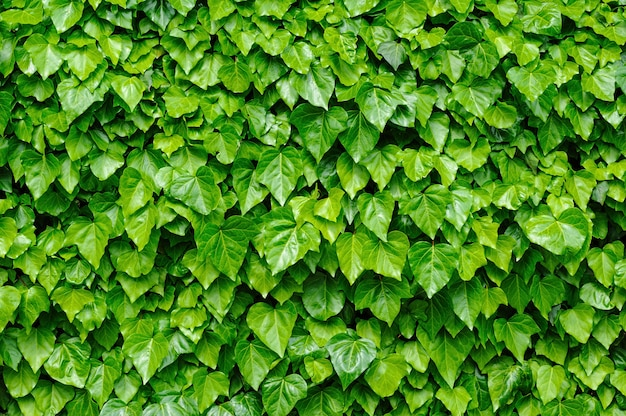 Hera verde deixa o fundo