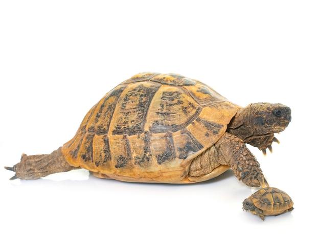 Hermanns tartaruga e filhotes de tartarugas