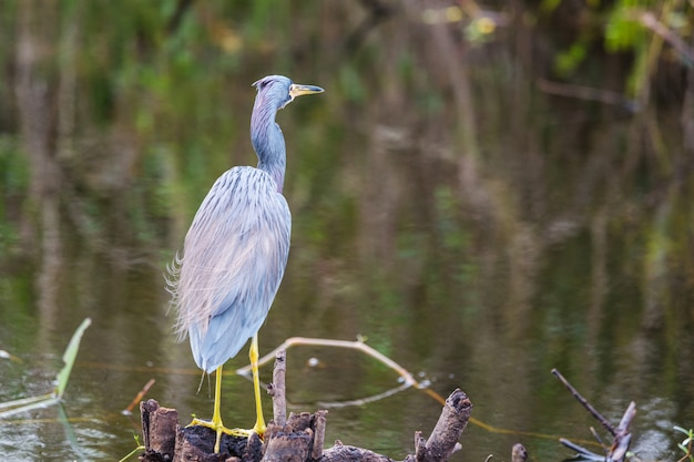 Heron em everglades np, flórida