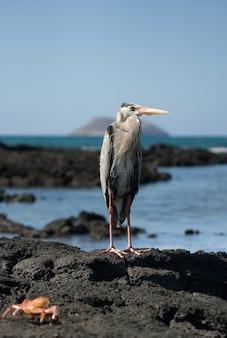 Heron está de pé nas rochas sobre o oceano. as ilhas galápagos. pássaros. equador.