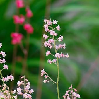 Heuchera floresce rosa em um canteiro de flores no jardim de verão.