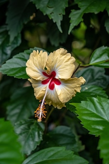 Hibisco havaiano no meio de uma floresta
