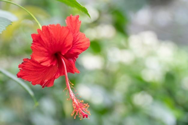 Hibisco vermelho com folhas desfocadas