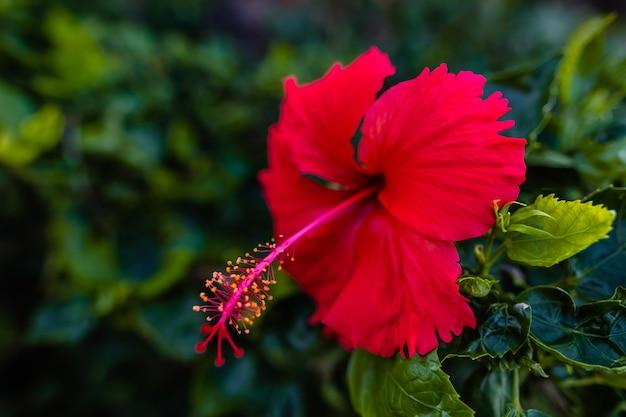 Hibisco vermelho selvagem durante a floração, close-up.