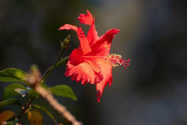 Hibiscus com suas cores e todos os seus detalhes na natureza. luz natural, foco seletivo.