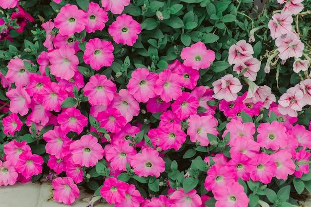 Híbridos rosa calibrachoa
