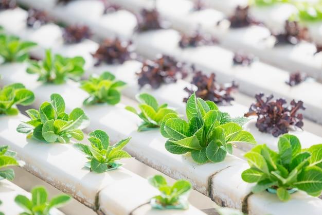 Hidroponia, vegetais orgânicos frescos colhidos, agricultores que trabalham com horta hidropônica orgânica em estufa.