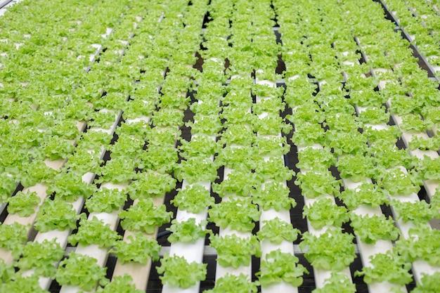 Hidropônico de fazenda de alface cultivada em estufa para exportação ao mercado. interior da fazenda hidropônica. fazenda de vegetais em hidroponia.