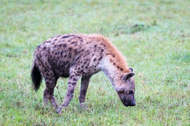 Hiena caminhando na savana em busca de comida
