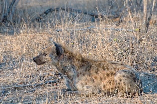 Hiena deitada no chão