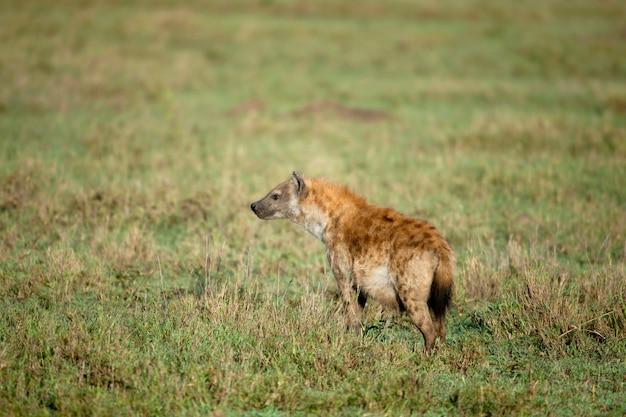 Hiena em estado selvagem