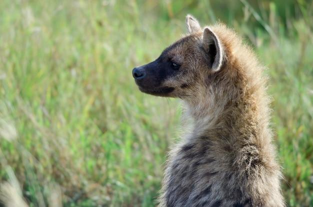 Hiena em serengeti national park