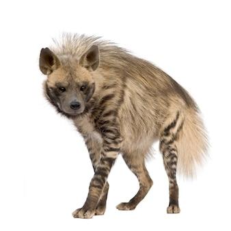 Hiena listrada em um branco isolado