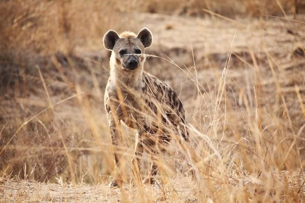 Hiena malhada em savana africana