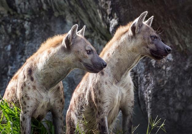 Hiena malhada no ambiente natural do jardim zoológico.