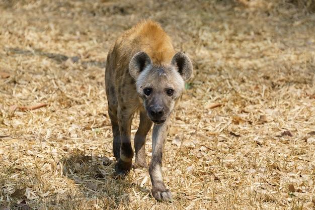 Hiena-malhada ou hiena rindo andando