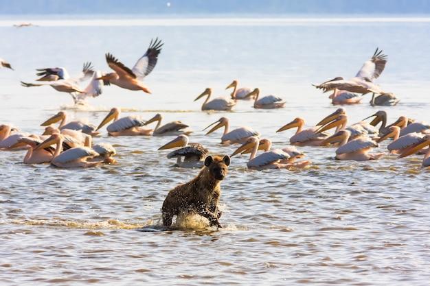 Hiena na margem do lago nakuru, quênia