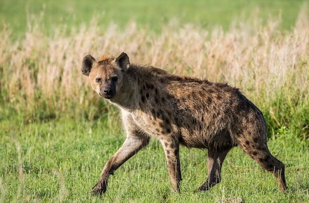 Hiena na savana. áfrica. tanzânia. parque nacional do serengeti.