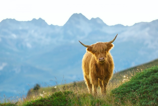 Highlander - vaca escocesa nos alpes suíços