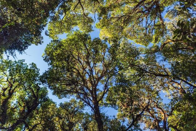 Hill evergreen forest no norte da tailândia.