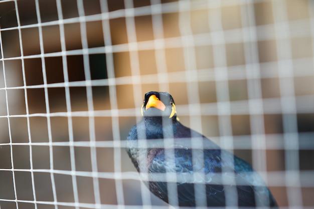 Hill myna ou pássaro preto em primeiro plano de rede de gaiola para deter ou aprisionar a vida