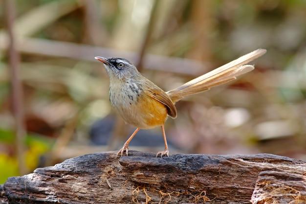 Hill prinia prinia superciliaris belas aves da tailândia