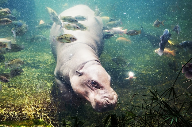 Hipopótamo, hipopótamo, amphibius, áfrica do sul