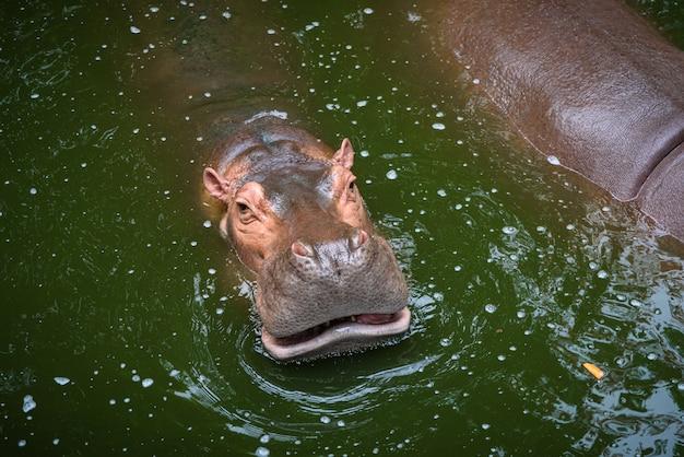 Hipopótamo, hipopótamo, vivendo no lago de água
