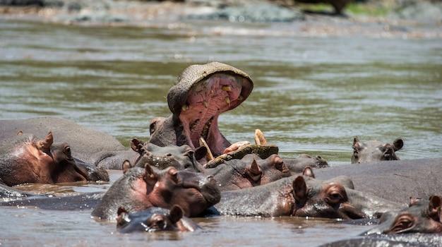 Hipopótamo na água com a boca bem aberta