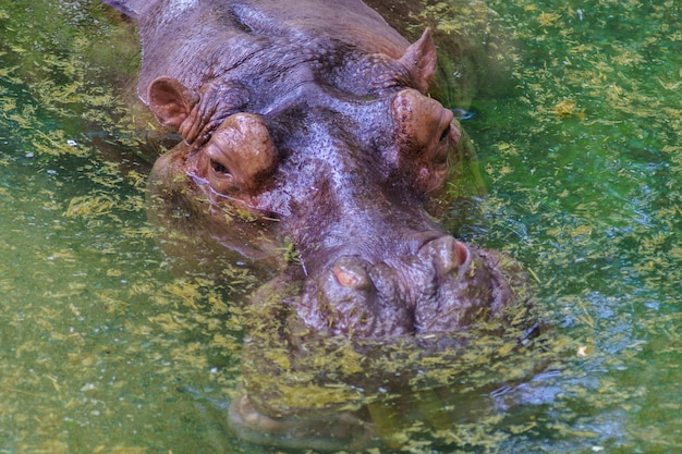 Hipopótamo na água suja.
