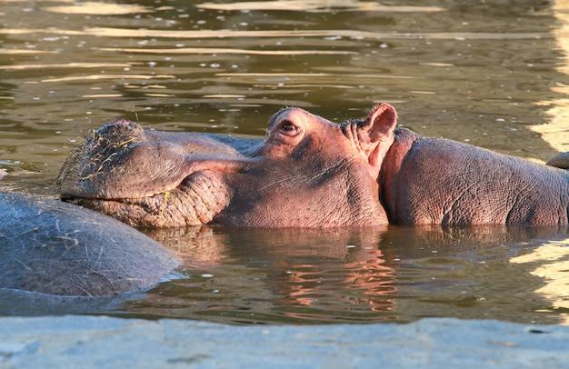 Hipopótamo na água