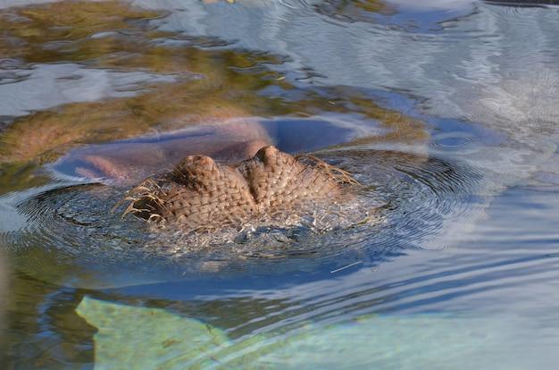 Hipopótamo submerso na água com seus bigodes e nariz salientes.