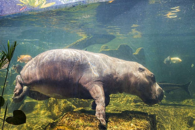 Hipopótamos pigmeus debaixo d'água no zoológico