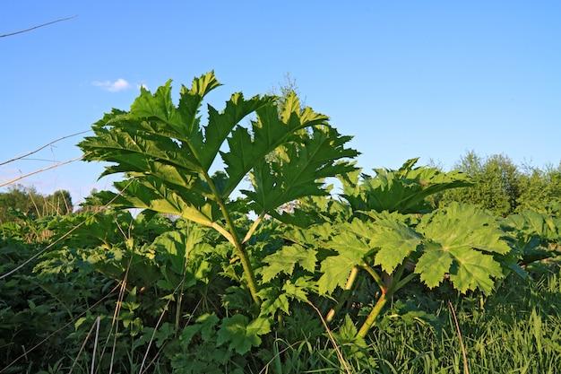 Hogweed de folha verde sobre fundo celeste