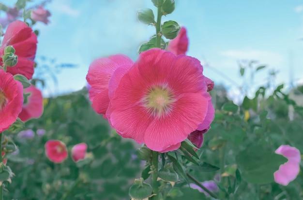 Hollyhock rosa ou flores de flor alteaea rosea