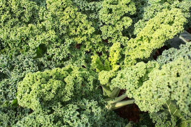 Home cultivada organic anão kale de folhas encaracoladas