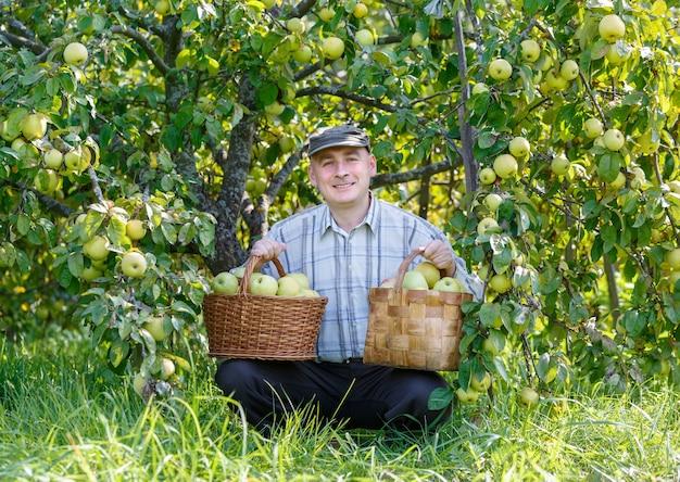 Homem adulto no jardim com cestos de colheita de maçãs