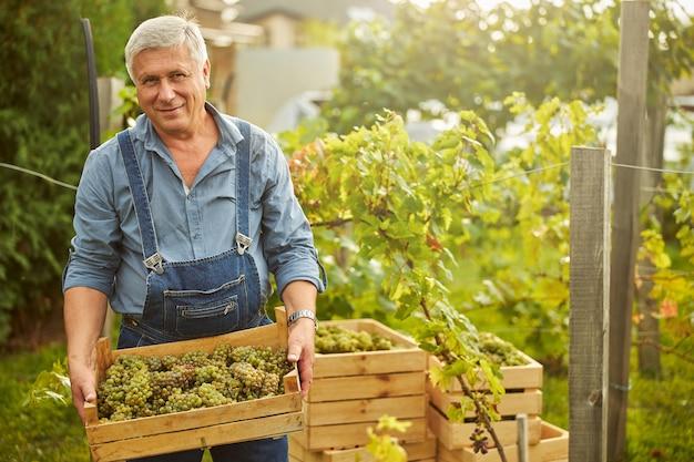 Homem alegre e envelhecendo segurando um conatiner de madeira cheio de uvas brancas maduras em pé no vinhedo
