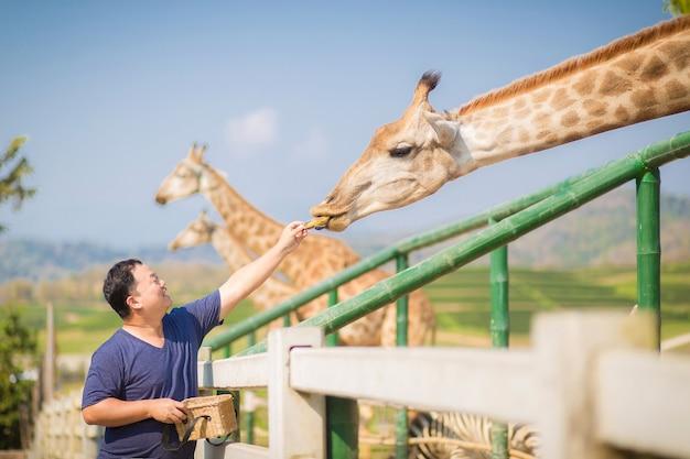 Homem asiático que adora animais está dando frutas ou comida para girafas no zoológico aberto no norte da tailândia