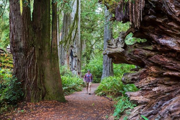 Homem caminhando na trilha entre enormes sequoias na floresta do norte da califórnia, eua