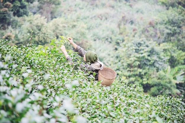 Homem, colheita, /, pick, fresco, chá verde, folhas, em, alto, terra, chá, campo, em, chiang mai, tailandia