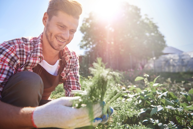 Homem colhendo cenoura orgânica direto do campo