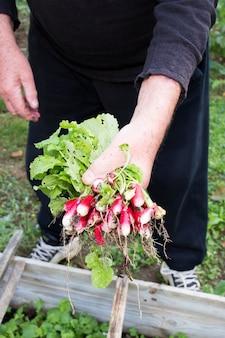 Homem colhendo rabanete fresco de seu jardim