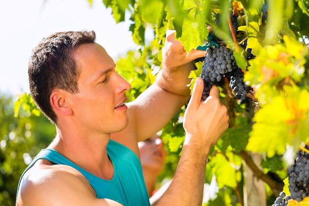 Homem colhendo uvas com cisalhamento na época da colheita