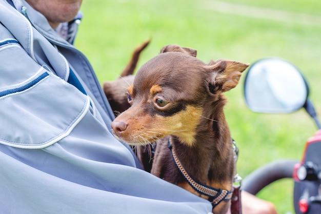 Homem com cachorro de raça toy terrier russo em uma motocicleta